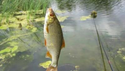 Особенности ловли плотвы поплавочной снастью летом